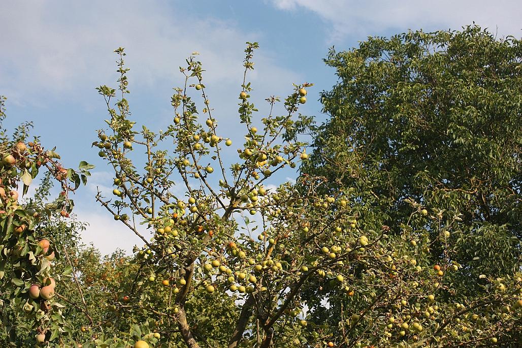 2e-Apfelbaum