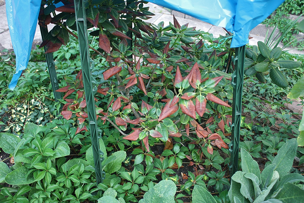 5e-rhododendron2